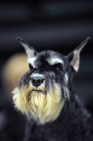 Miniature Schnauzer color pimienta y sal photo