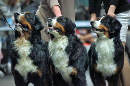 black giant mountain: Three Bernese Mountain Dog portrait