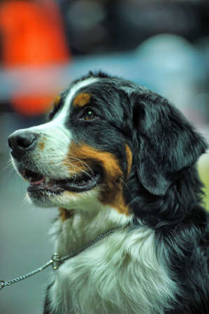 Bernese Mountain Dog Stock Photo - 19428124