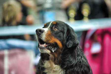 Bernese Mountain Dog Stock Photo - 19428094