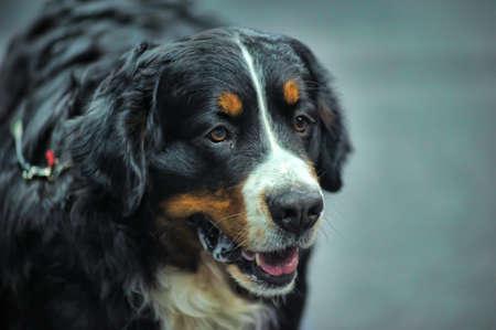 sennen: Bernese Mountain Dog