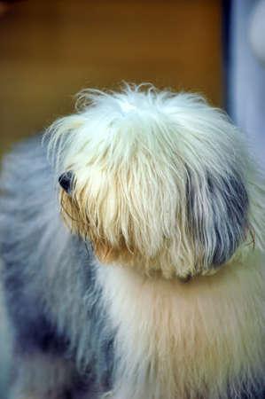 bobtail: bobtail dog