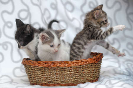 three kittens in a basket photo