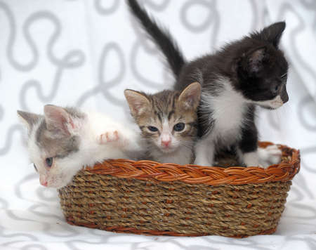 ear checked: three kittens in a basket
