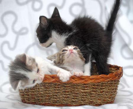 housepet: three kittens in a basket