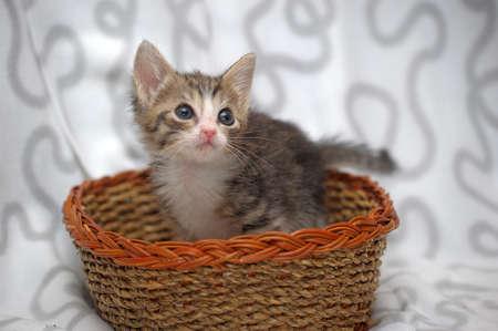 felis silvestris catus: little kitten in a wicker basket