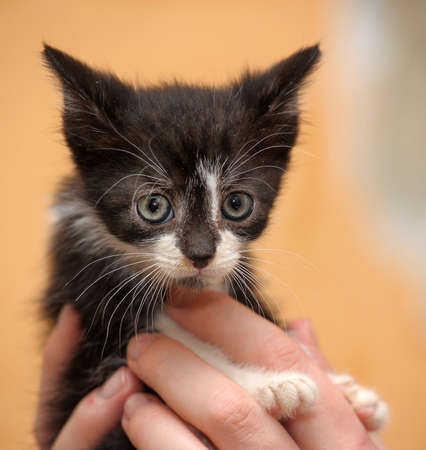 paying attention: black and white kitten in her arms Stock Photo