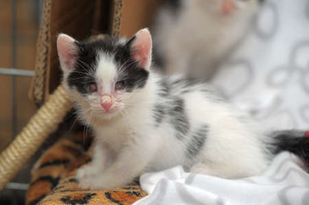 small kitten with diseased eyes rescued zoo defenders Stock Photo - 19577564