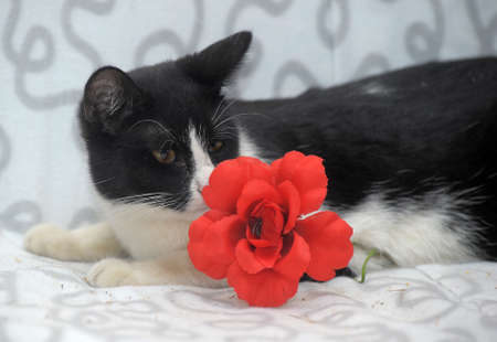 black and white cat with a red flower photo