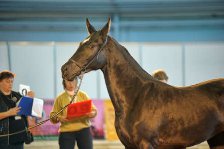 Exhibition of thoroughbred horses in St. Petersburg, Russia