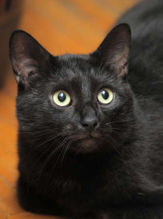 mesmerising: black cat with large expressive eyes
