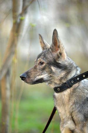 young grey dog walk photo