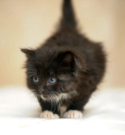 lovely fluffy black and white kitten photo