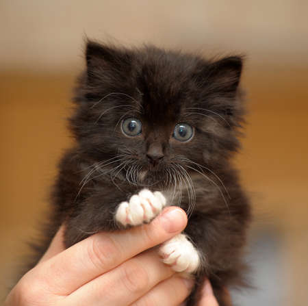 lovely fluffy kitten in the hand photo