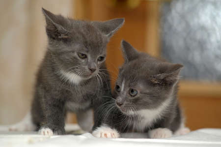 two gray kitten photo