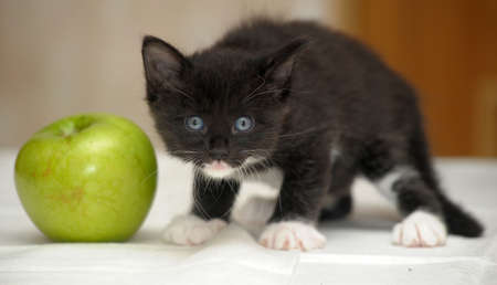 Funny fluffy black and white kitten and an apple photo