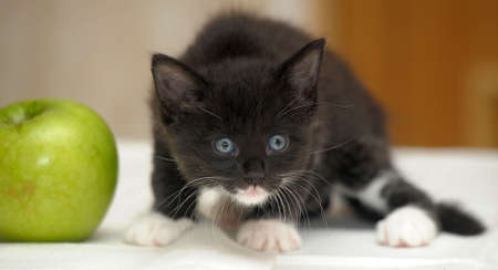 Funny fluffy black and white kitten and an apple