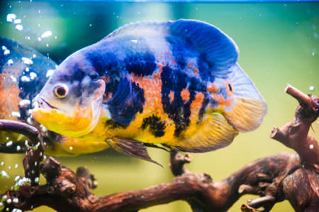 Blue Stripped Tropical Fish photo