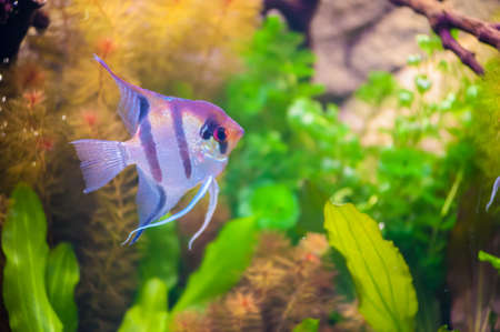royal angelfish: Blue Stripped Tropical Fish
