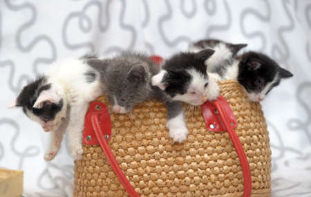 kittens in a wicker basket photo