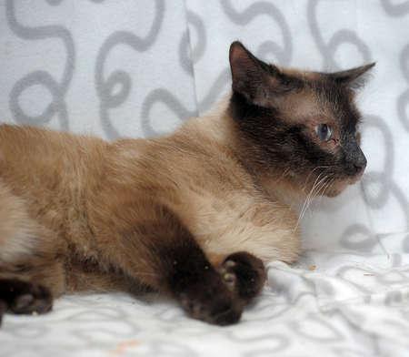 snazzy: Siamese cat Stock Photo
