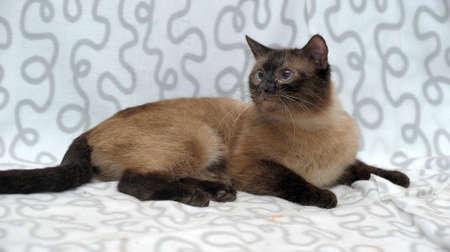 swanky: Siamese cat Stock Photo