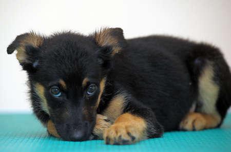 half-breed shepherd puppy photo