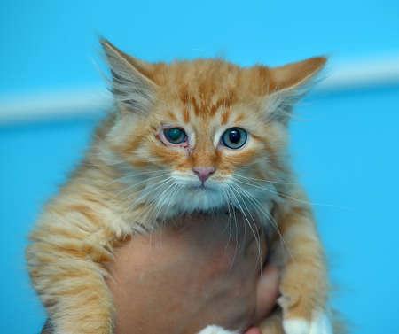 rowdy: gatito ruidoso rojo en las manos
