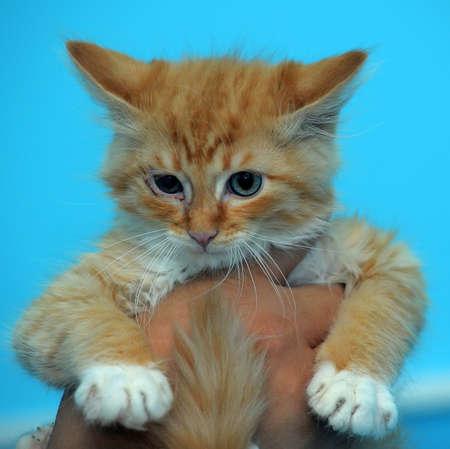 Rowdy: red rowdy kitten in hands