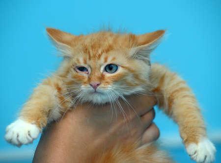 red rowdy kitten in hands photo