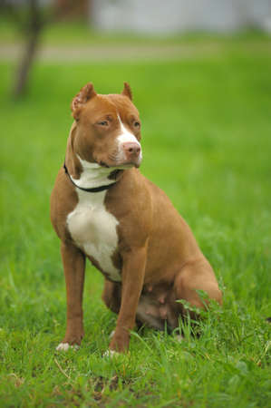 householder: American Pit Bull Terrier on the grass