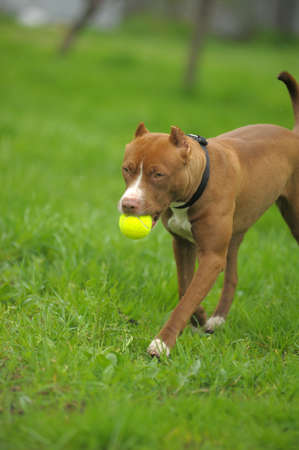 gardian: American Pit Bull Terrier on the grass