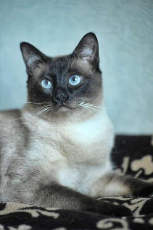Siamese cat on a sofa photo