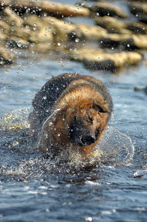 Shepherd in water photo