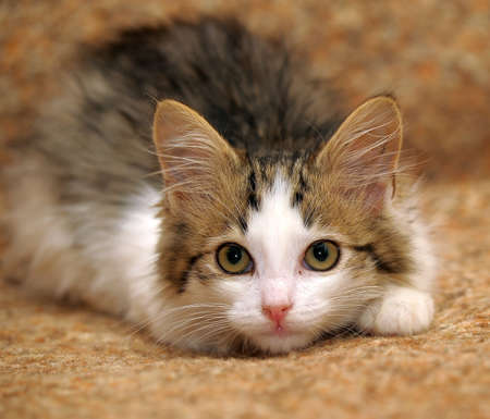 Lovely kitten lying on the couch photo