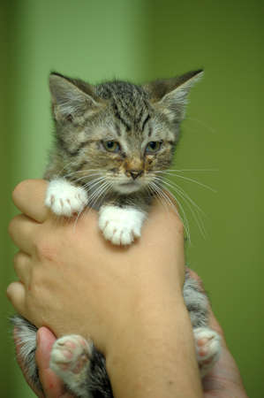 cute little kitten in hands photo