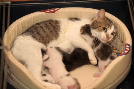 nursing young: cat with kittens Stock Photo
