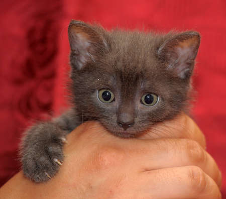 gray kitten photo