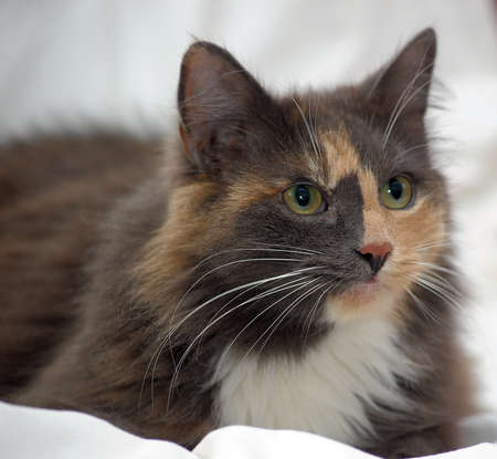 Beautiful three-colored fluffy cat