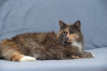 Beautiful three-colored fluffy cat Stock Photo - 21025606