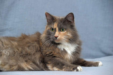brown pussy: Beautiful three-colored fluffy cat