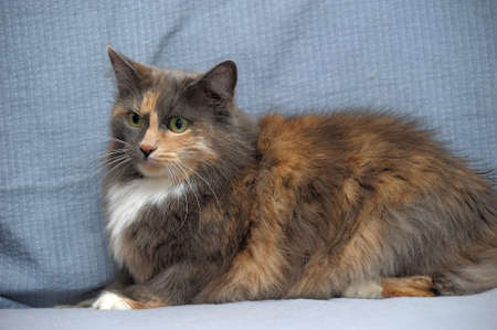 Beautiful three-colored fluffy cat photo