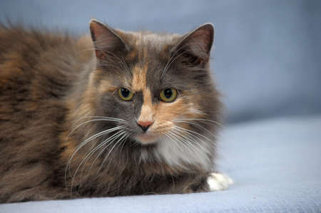 poised: Beautiful three-colored fluffy cat