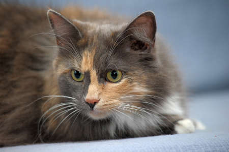 Beautiful three-colored fluffy cat photo