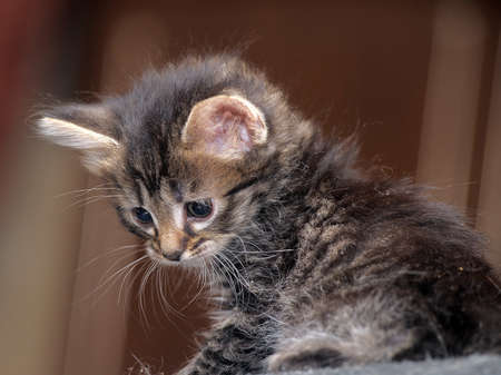 cute fluffy tabby kitten photo