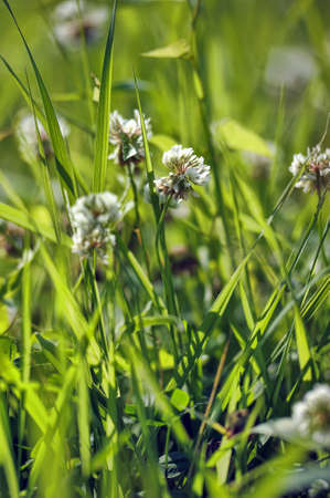 White clover, grass, background photo