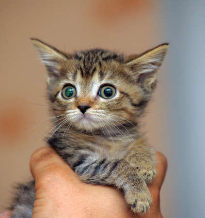 Adorable young cat in woman s hands photo