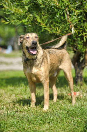 frolicking: light brown crossbreed dog for a walk