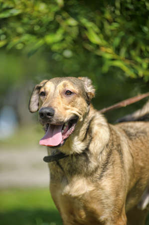 roaming: light brown crossbreed dog for a walk