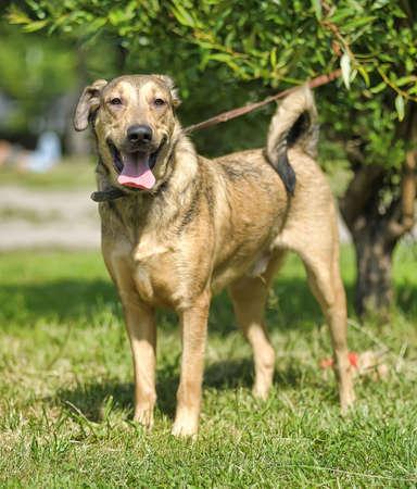 agachado: marr�n claro cruce perro a pasear Foto de archivo